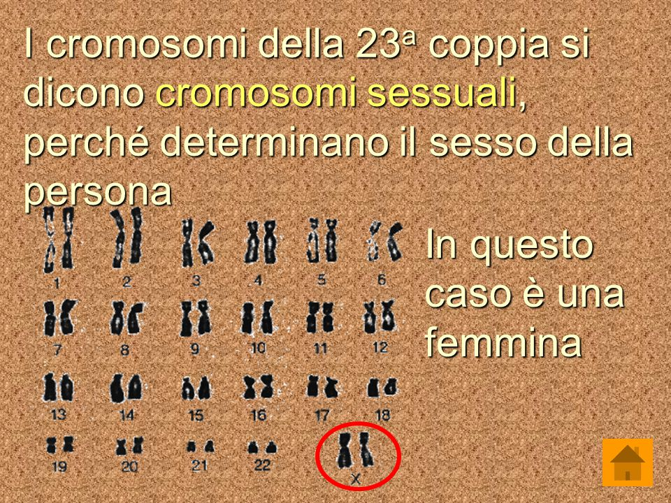 I cromosomi della 23a coppia si dicono cromosomi sessuali, perché determinano il sesso della persona