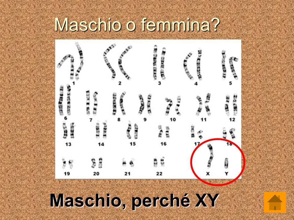 Maschio o femmina Maschio, perché XY