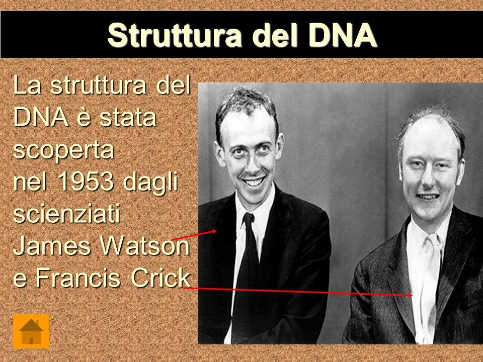 Struttura del DNA La struttura del DNA è stata scoperta nel 1953 dagli