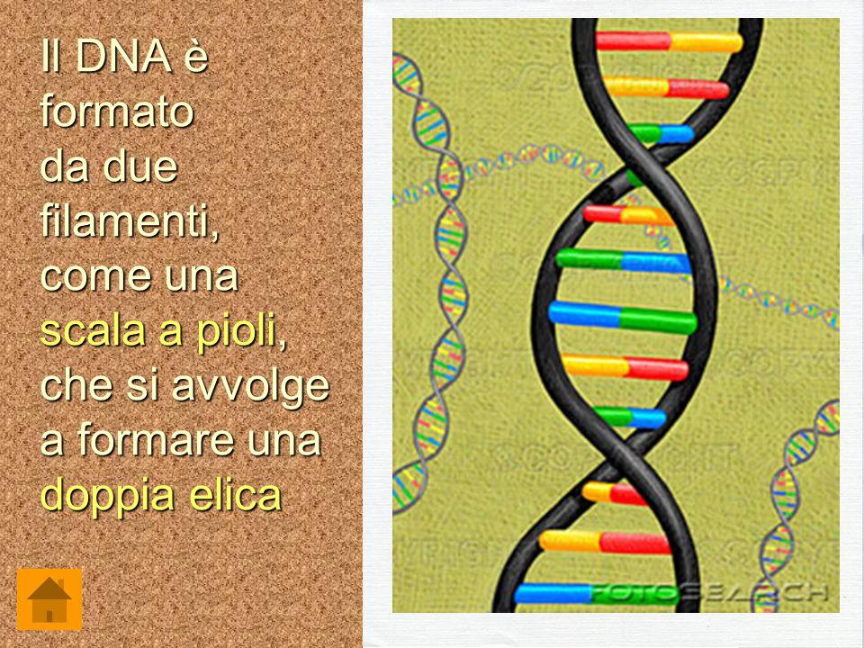 Il DNA è formato da due filamenti, come una scala a pioli, che si avvolge a formare una doppia elica.