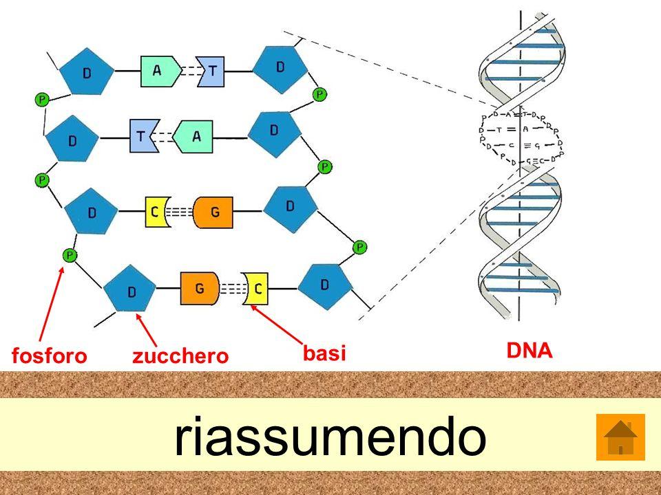 DNA fosforo zucchero basi riassumendo
