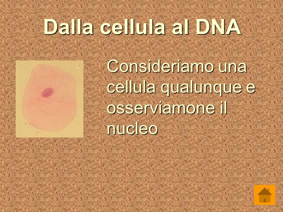 Dalla cellula al DNA Consideriamo una cellula qualunque e osserviamone il nucleo