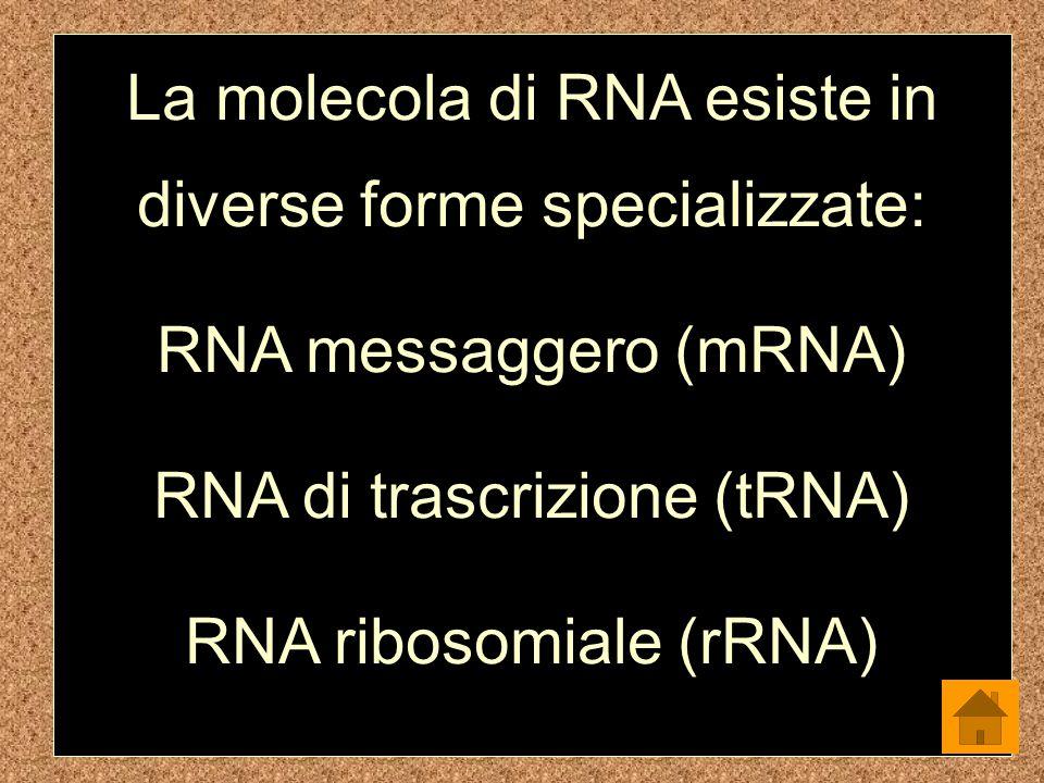 La molecola di RNA esiste in diverse forme specializzate:
