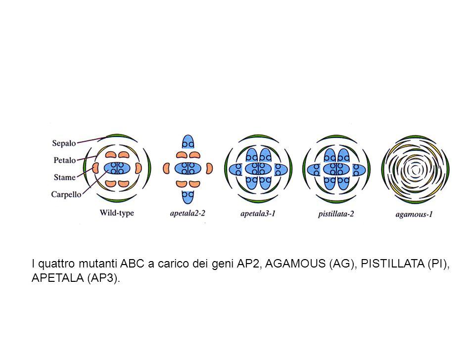 I quattro mutanti ABC a carico dei geni AP2, AGAMOUS (AG), PISTILLATA (PI),