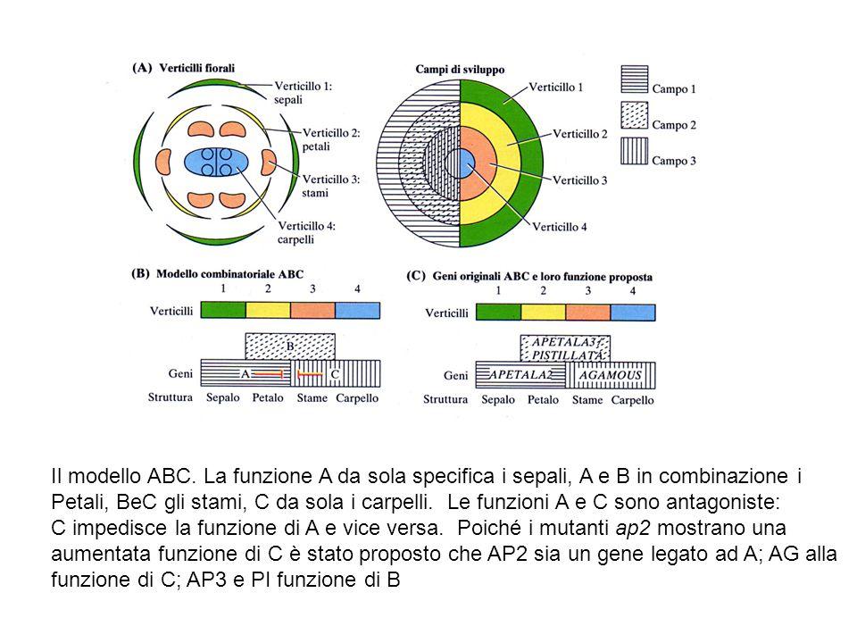 Il modello ABC. La funzione A da sola specifica i sepali, A e B in combinazione i