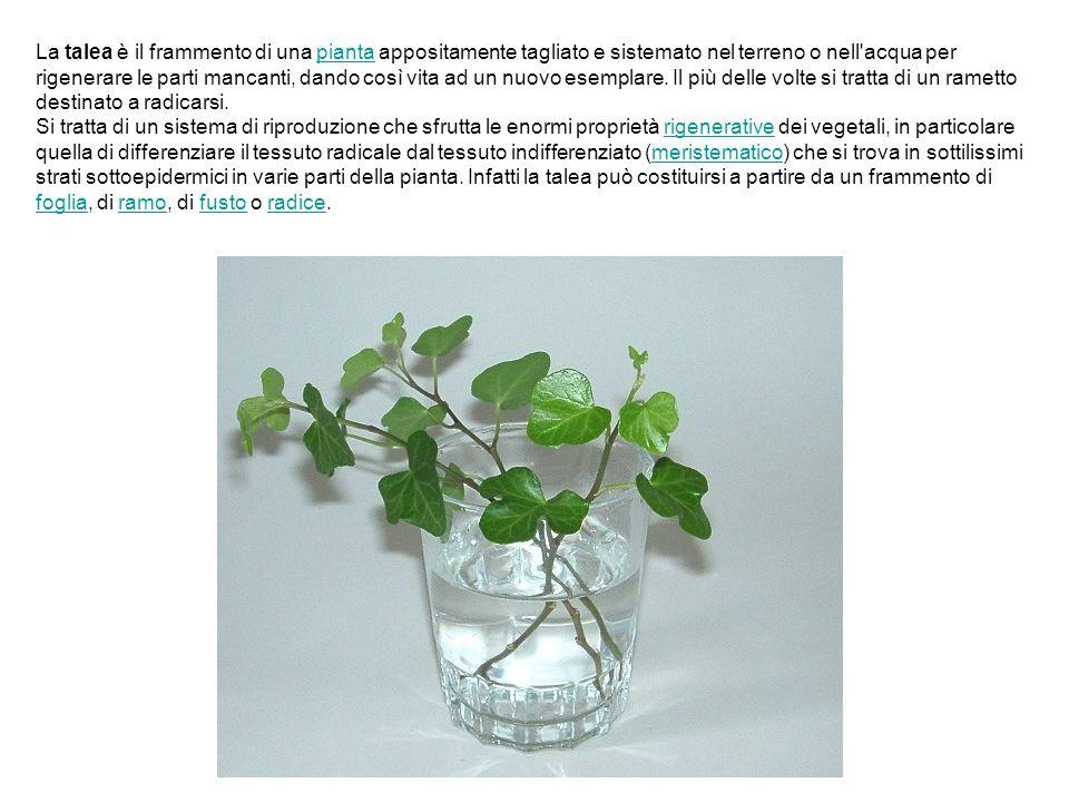 La talea è il frammento di una pianta appositamente tagliato e sistemato nel terreno o nell acqua per rigenerare le parti mancanti, dando così vita ad un nuovo esemplare. Il più delle volte si tratta di un rametto destinato a radicarsi.