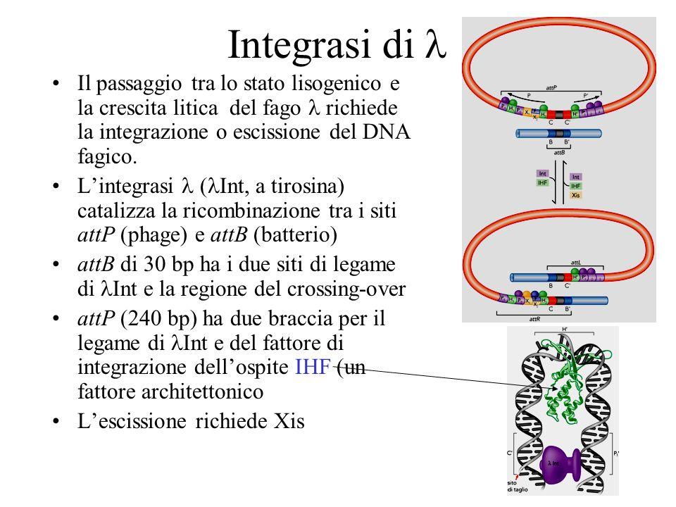 Integrasi di lIl passaggio tra lo stato lisogenico e la crescita litica del fago l richiede la integrazione o escissione del DNA fagico.