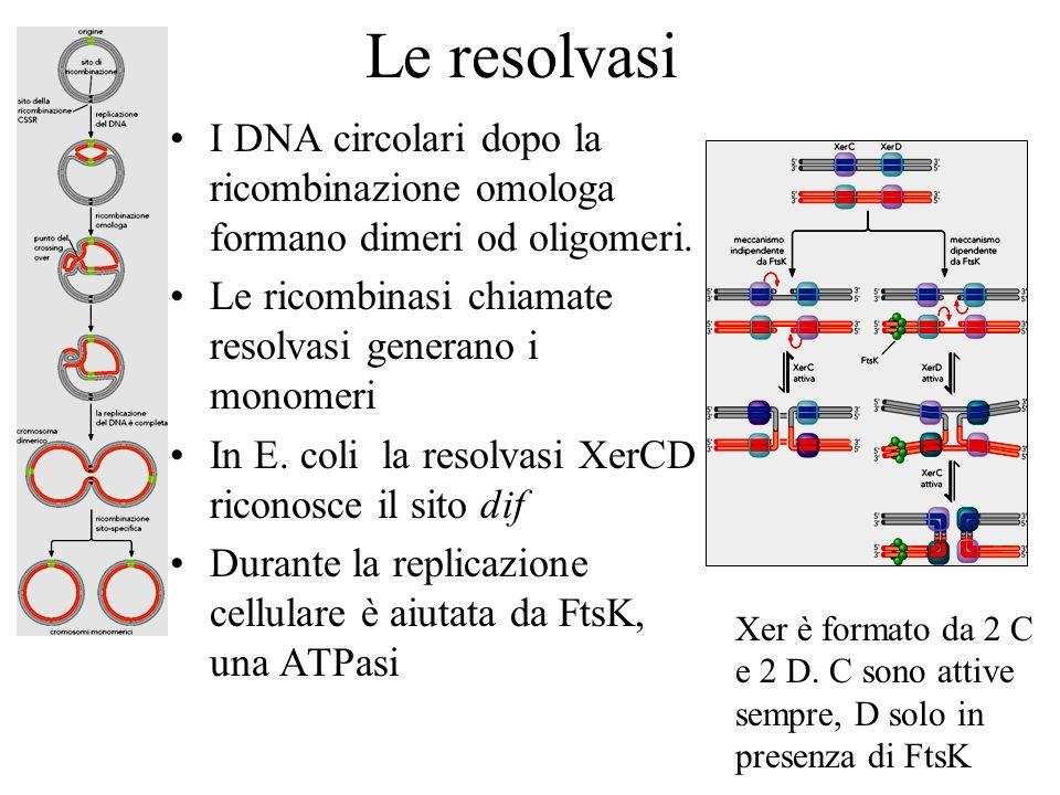 Le resolvasiI DNA circolari dopo la ricombinazione omologa formano dimeri od oligomeri. Le ricombinasi chiamate resolvasi generano i monomeri.