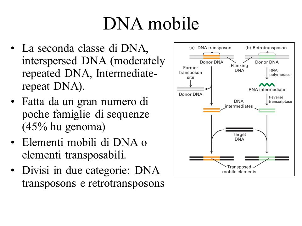 DNA mobile La seconda classe di DNA, interspersed DNA (moderately repeated DNA, Intermediate-repeat DNA).