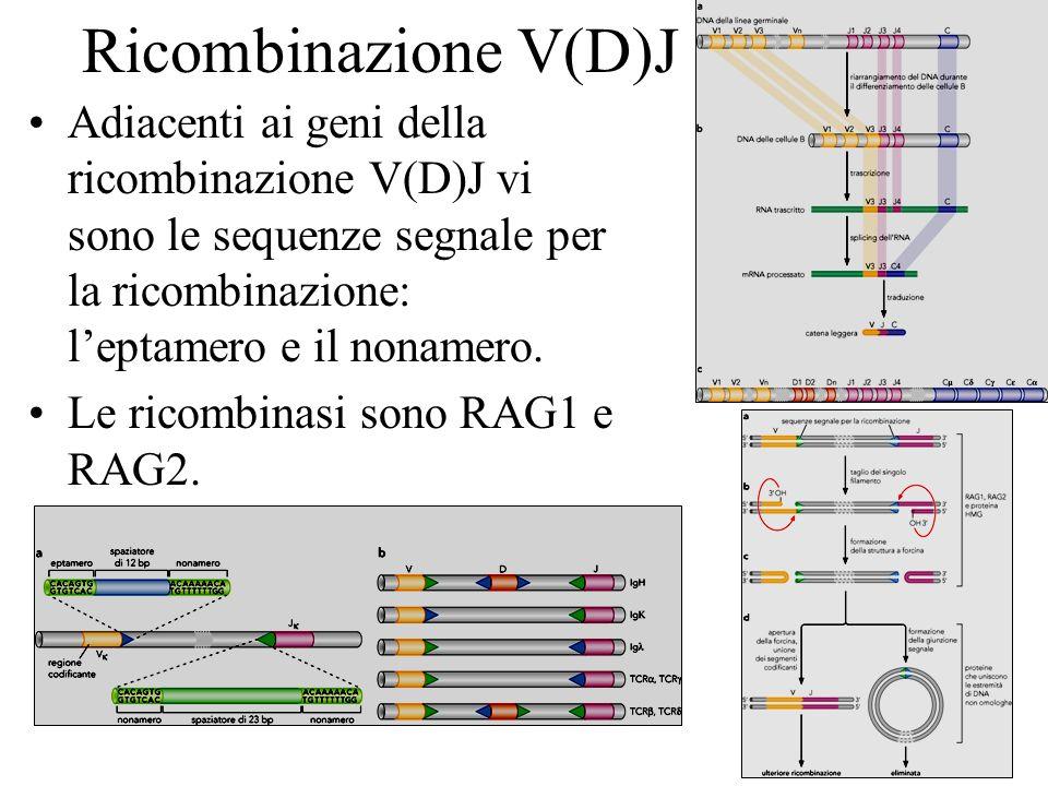 Ricombinazione V(D)JAdiacenti ai geni della ricombinazione V(D)J vi sono le sequenze segnale per la ricombinazione: l'eptamero e il nonamero.
