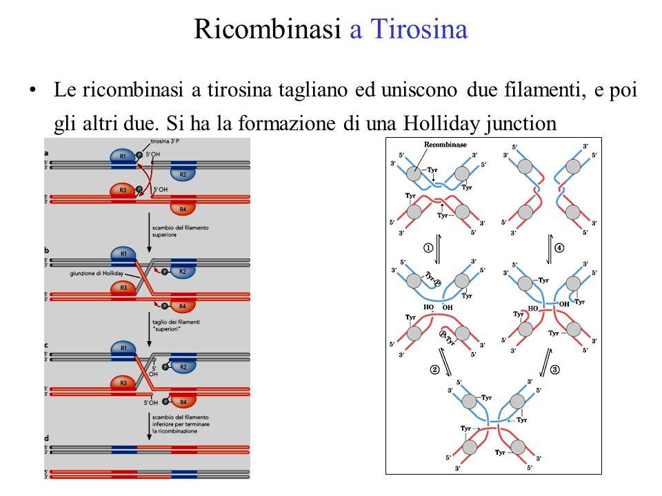 Ricombinasi a Tirosina