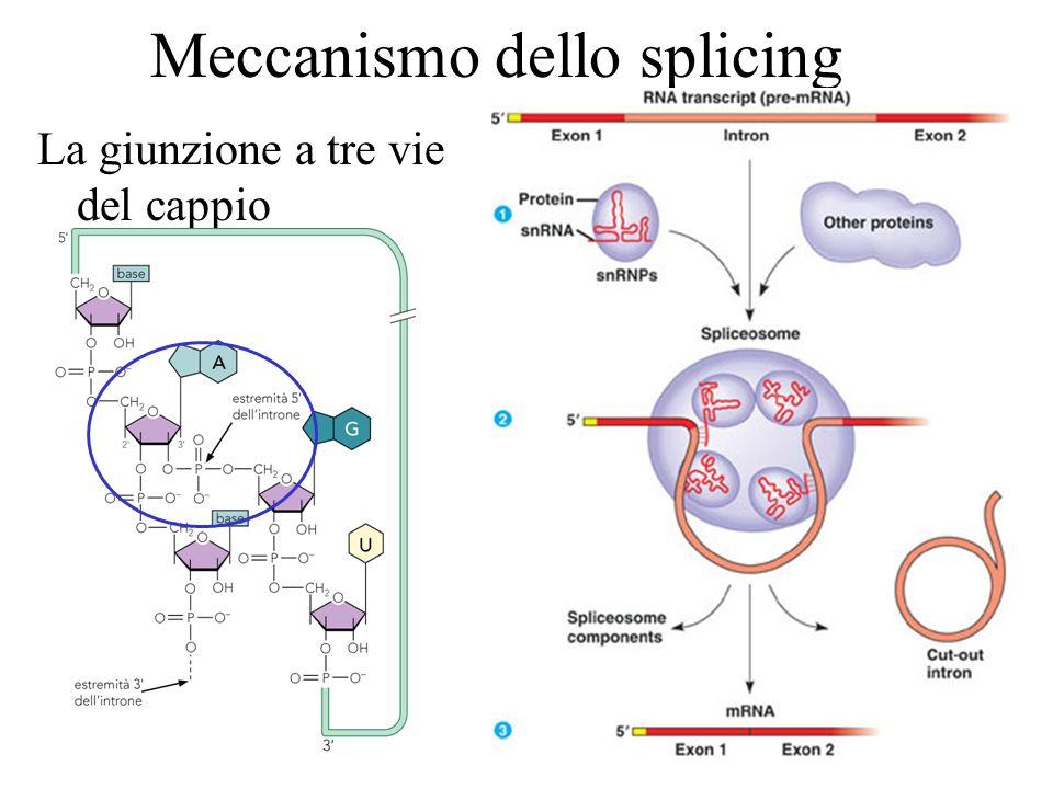 Meccanismo dello splicing