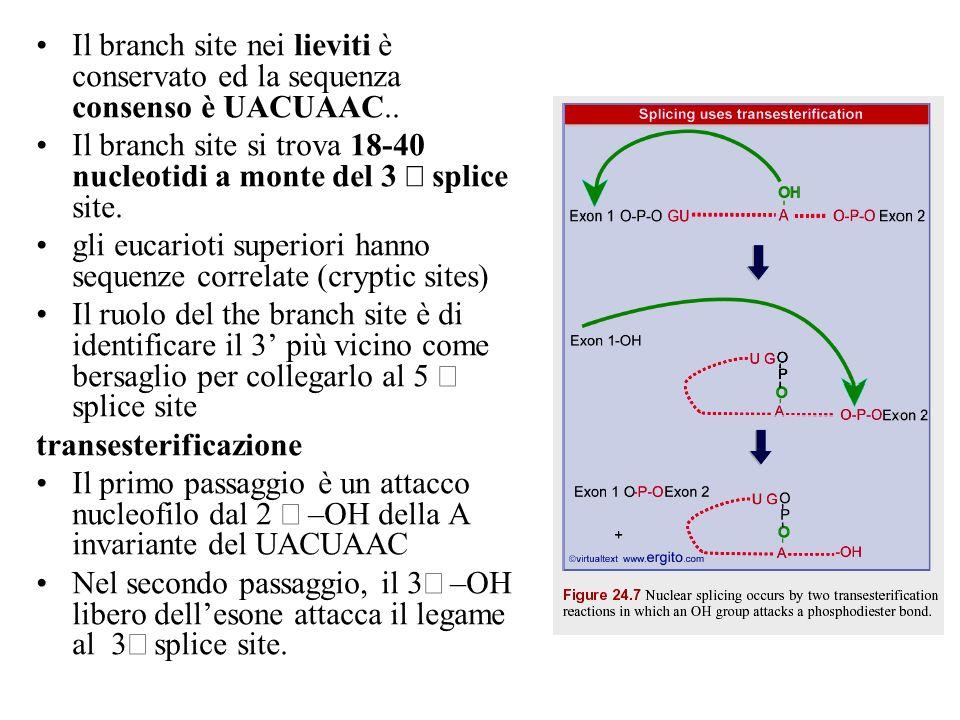 Il branch site nei lieviti è conservato ed la sequenza consenso è UACUAAC..