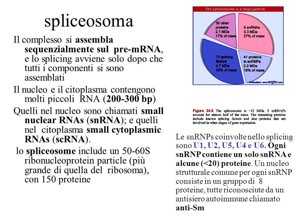 spliceosoma Il complesso si assembla sequenzialmente sul pre-mRNA, e lo splicing avviene solo dopo che tutti i componenti si sono assemblati.