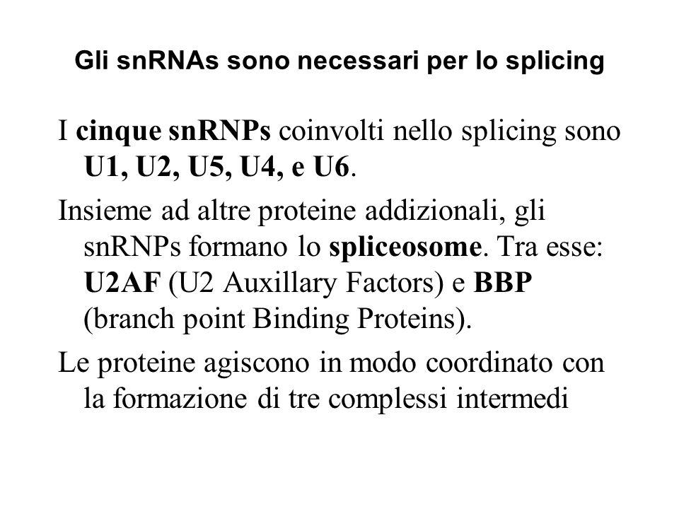 Gli snRNAs sono necessari per lo splicing
