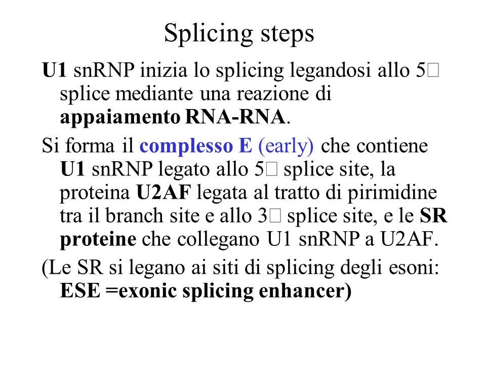 Splicing stepsU1 snRNP inizia lo splicing legandosi allo 5¢ splice mediante una reazione di appaiamento RNA-RNA.