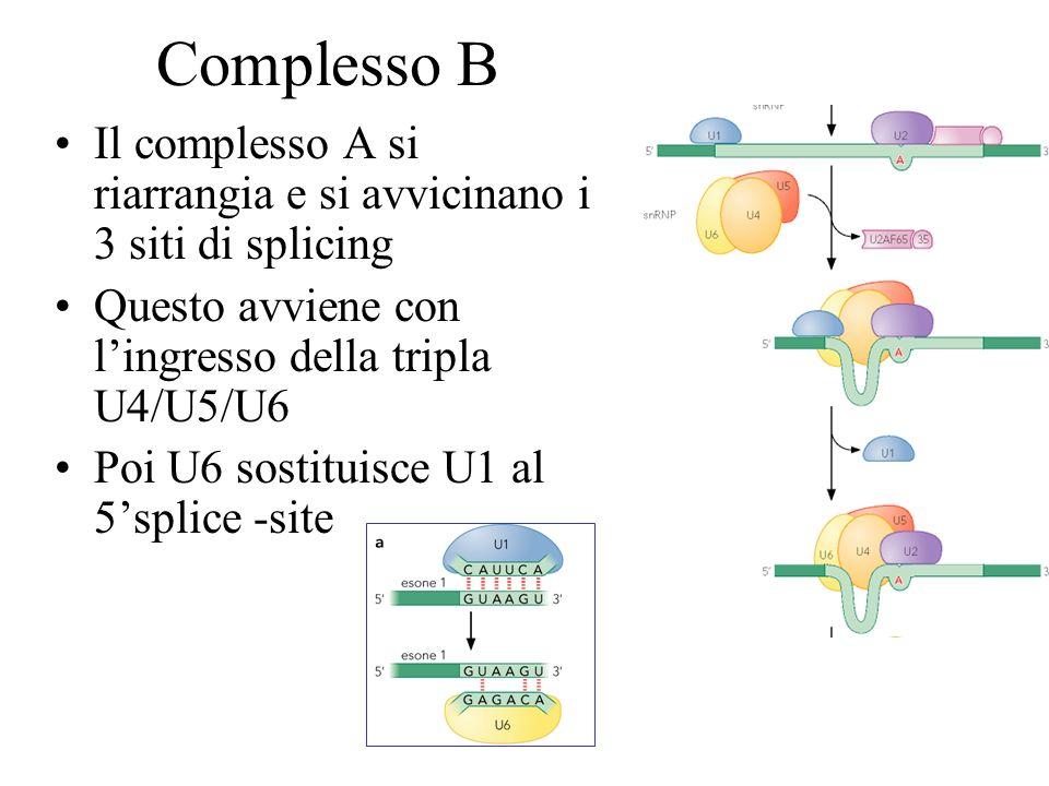 Complesso B Il complesso A si riarrangia e si avvicinano i 3 siti di splicing. Questo avviene con l'ingresso della tripla U4/U5/U6.