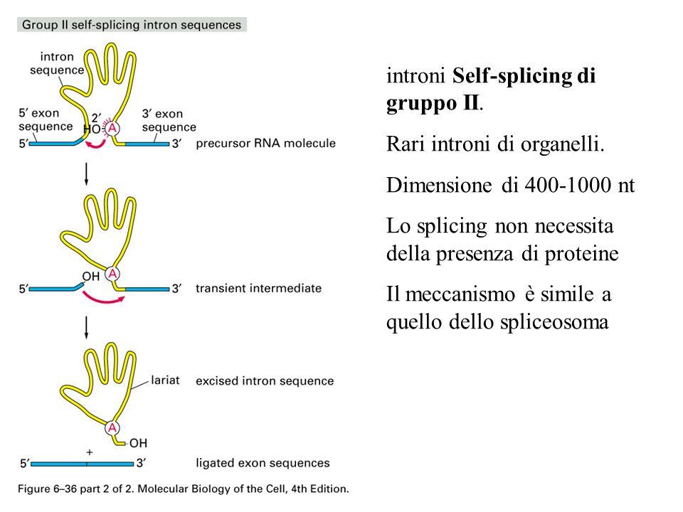 introni Self-splicing di gruppo II.