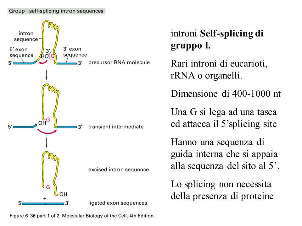 introni Self-splicing di gruppo I.
