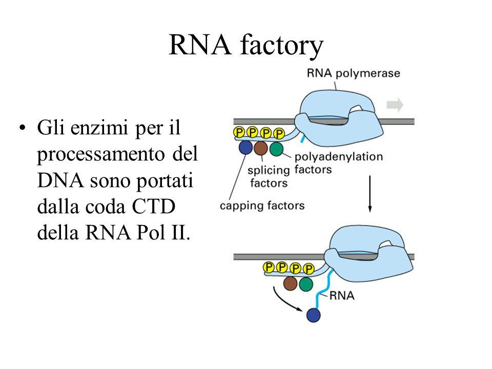 RNA factory Gli enzimi per il processamento del DNA sono portati dalla coda CTD della RNA Pol II.