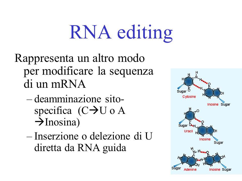 RNA editing Rappresenta un altro modo per modificare la sequenza di un mRNA. deamminazione sito- specifica (CU o A Inosina)