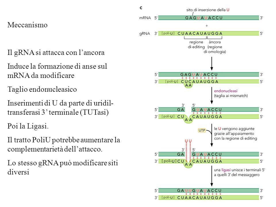 Meccanismo Il gRNA si attacca con l'ancora. Induce la formazione di anse sul mRNA da modificare. Taglio endonucleasico.