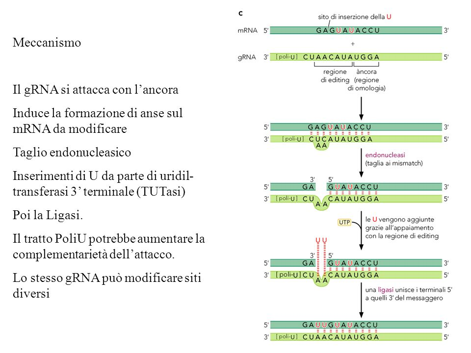 MeccanismoIl gRNA si attacca con l'ancora. Induce la formazione di anse sul mRNA da modificare. Taglio endonucleasico.
