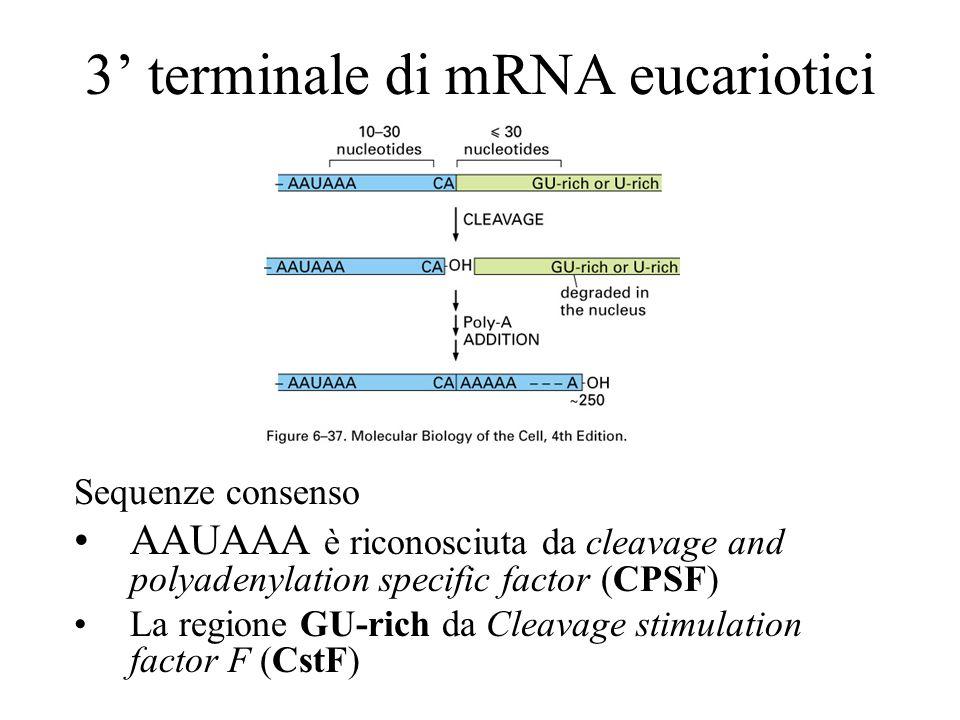 3' terminale di mRNA eucariotici