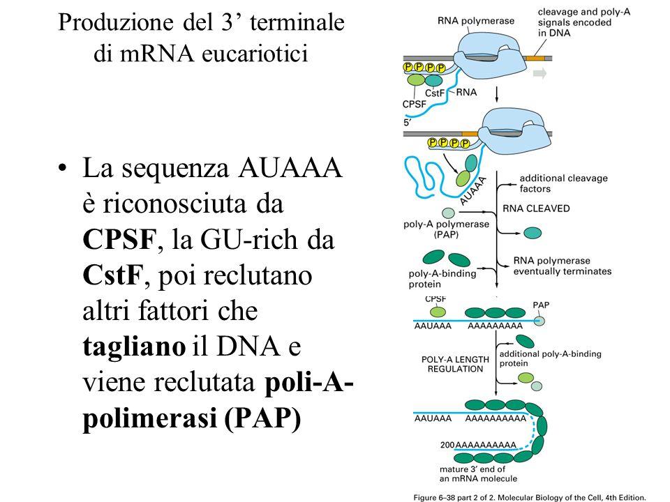 Produzione del 3' terminale di mRNA eucariotici