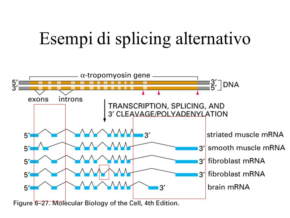 Esempi di splicing alternativo