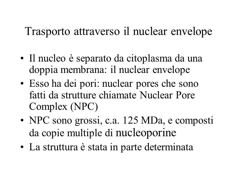 Trasporto attraverso il nuclear envelope