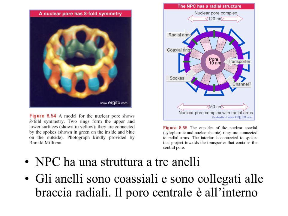 NPC ha una struttura a tre anelli