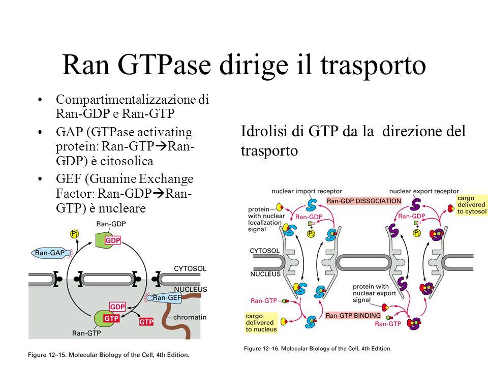Ran GTPase dirige il trasporto