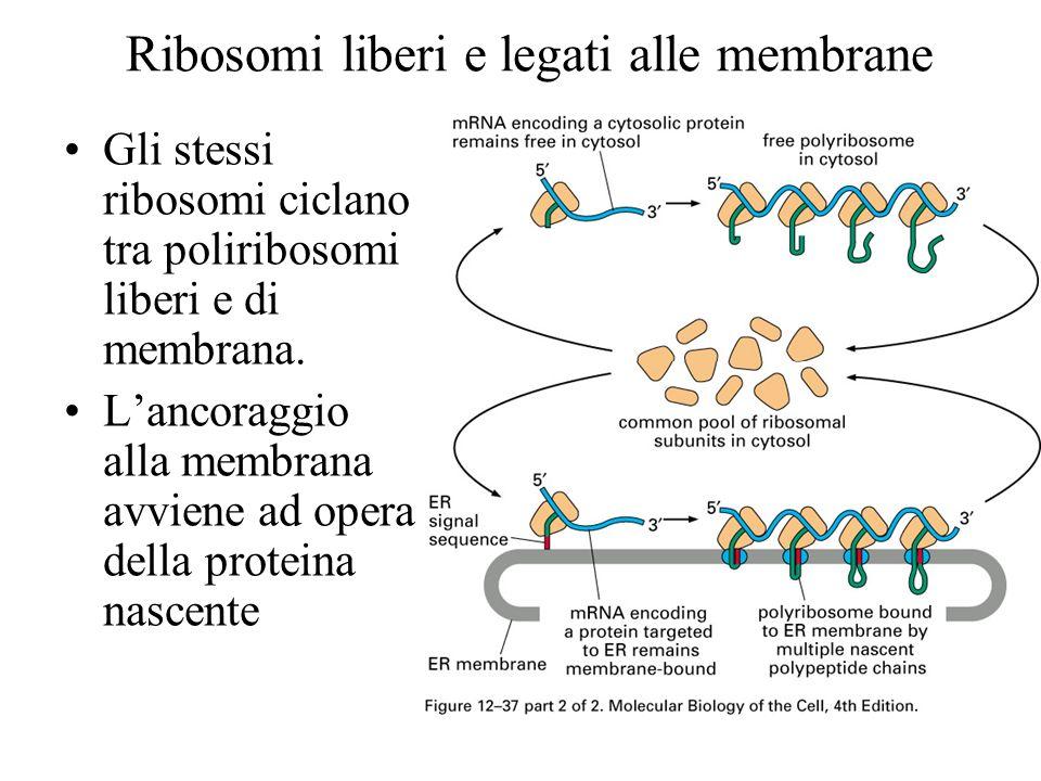 Ribosomi liberi e legati alle membrane