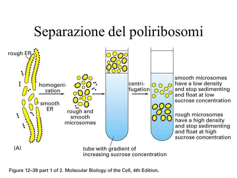 Separazione del poliribosomi