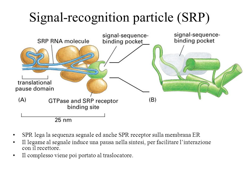 Signal-recognition particle (SRP)