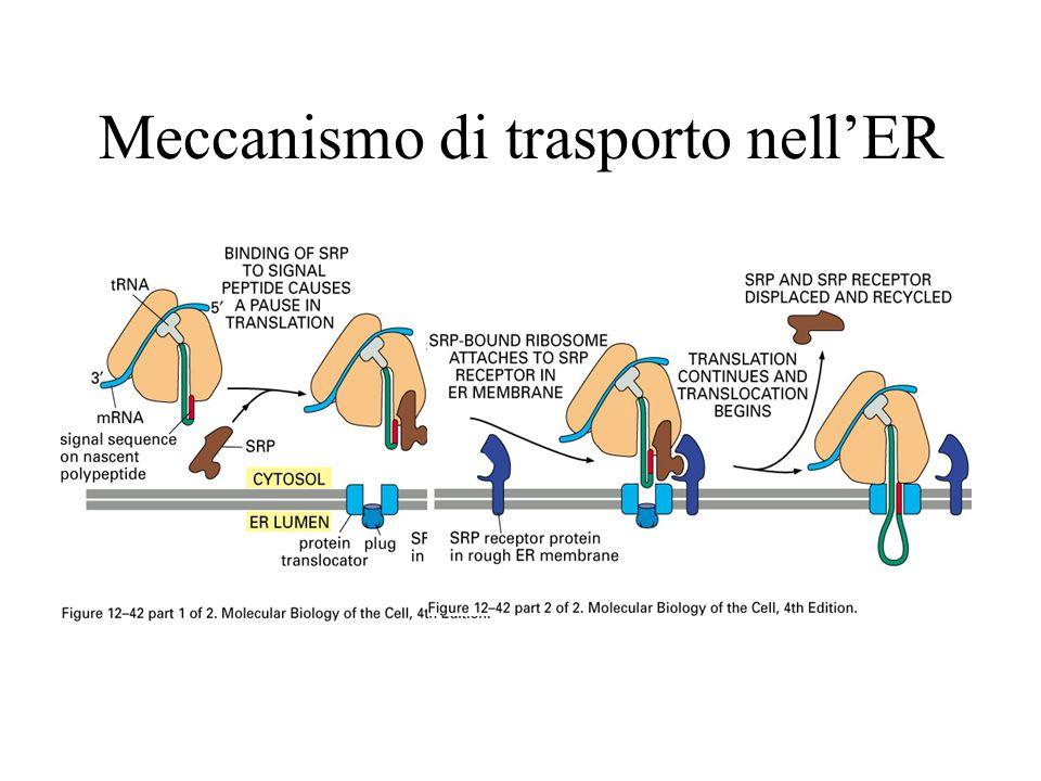 Meccanismo di trasporto nell'ER