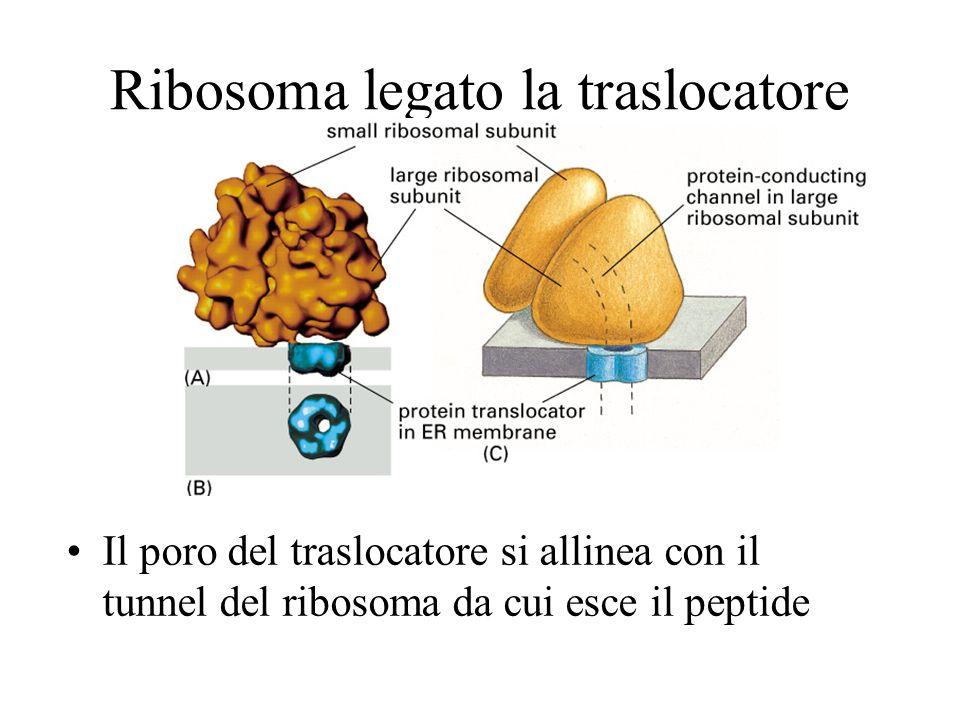 Ribosoma legato la traslocatore