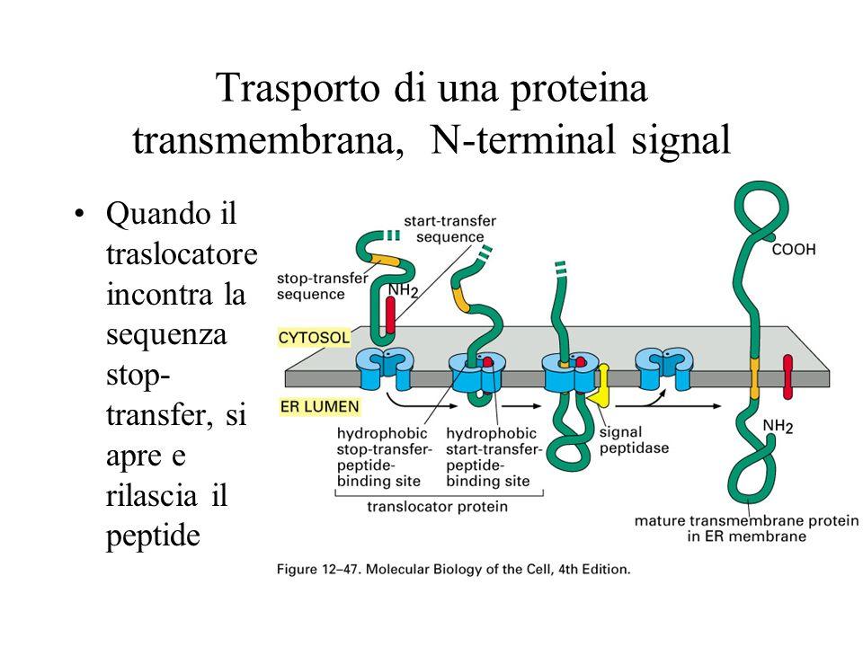 Trasporto di una proteina transmembrana, N-terminal signal