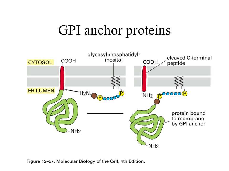 GPI anchor proteins