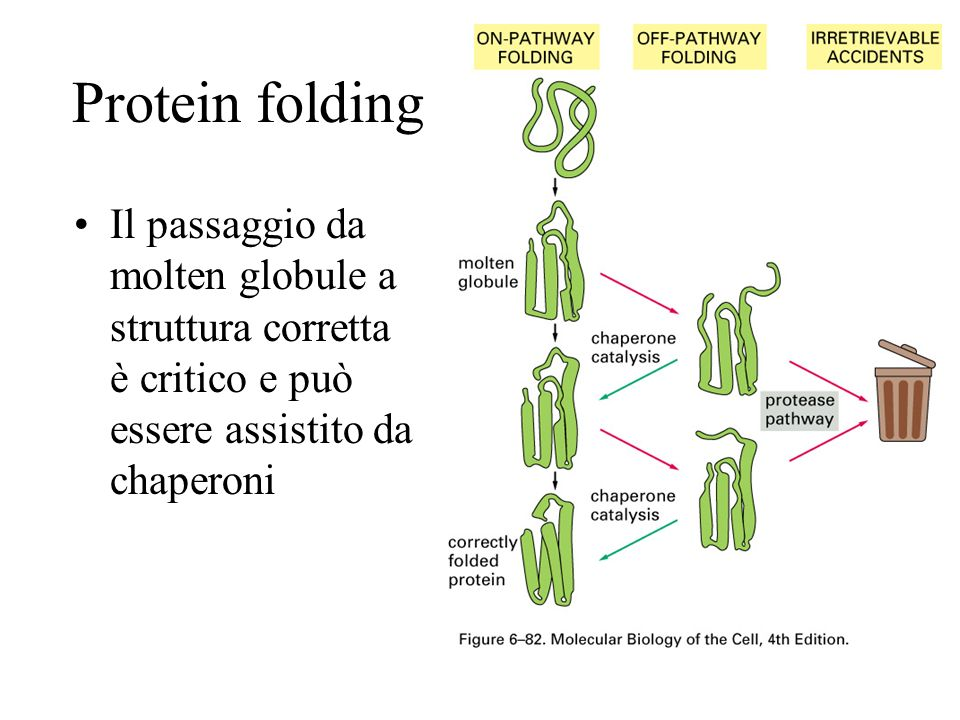 Protein folding Il passaggio da molten globule a struttura corretta è critico e può essere assistito da chaperoni.