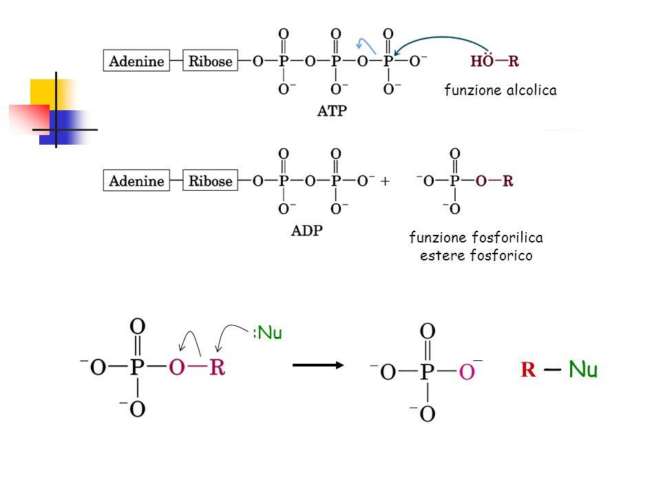 funzione alcolica funzione fosforilica estere fosforico :Nu R — Nu