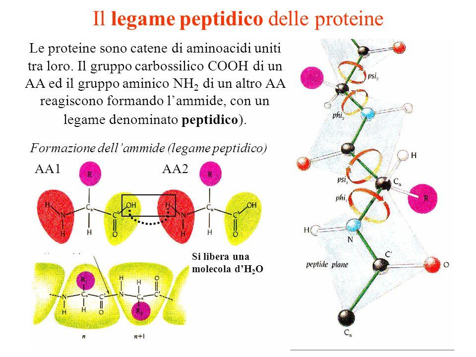 Il legame peptidico delle proteine