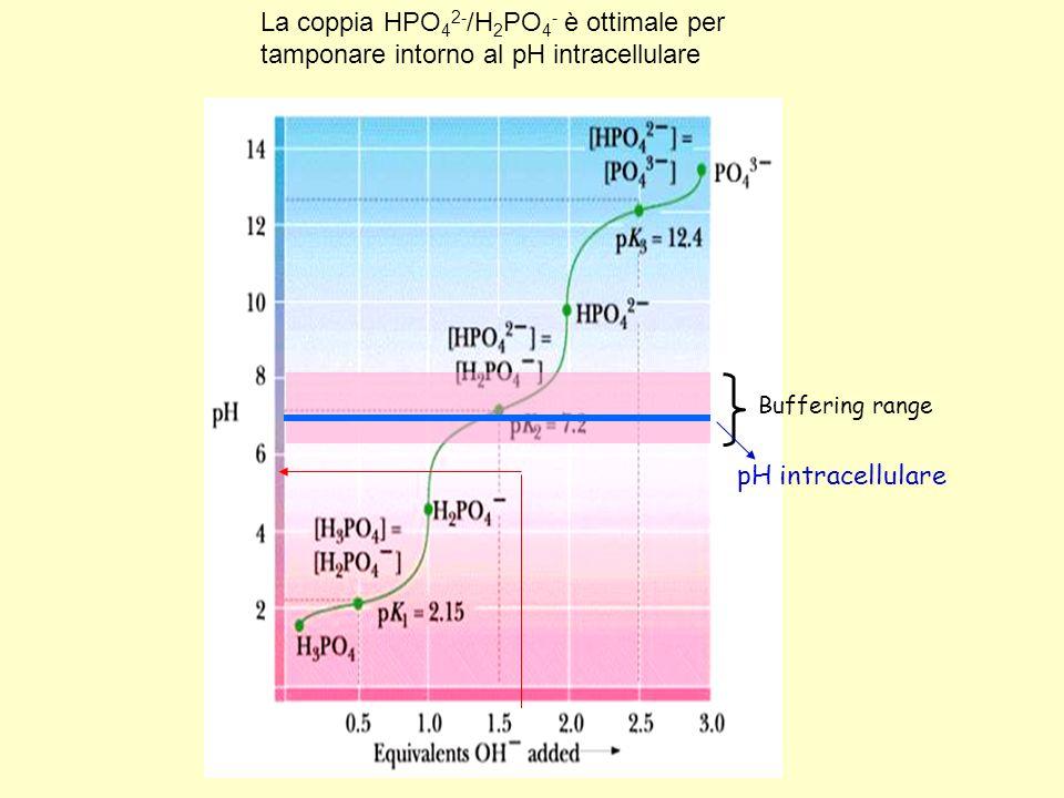 La coppia HPO42-/H2PO4- è ottimale per tamponare intorno al pH intracellulare