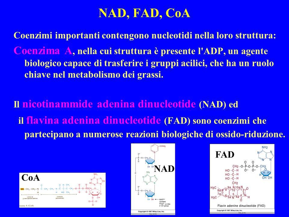 NAD, FAD, CoA Coenzimi importanti contengono nucleotidi nella loro struttura: