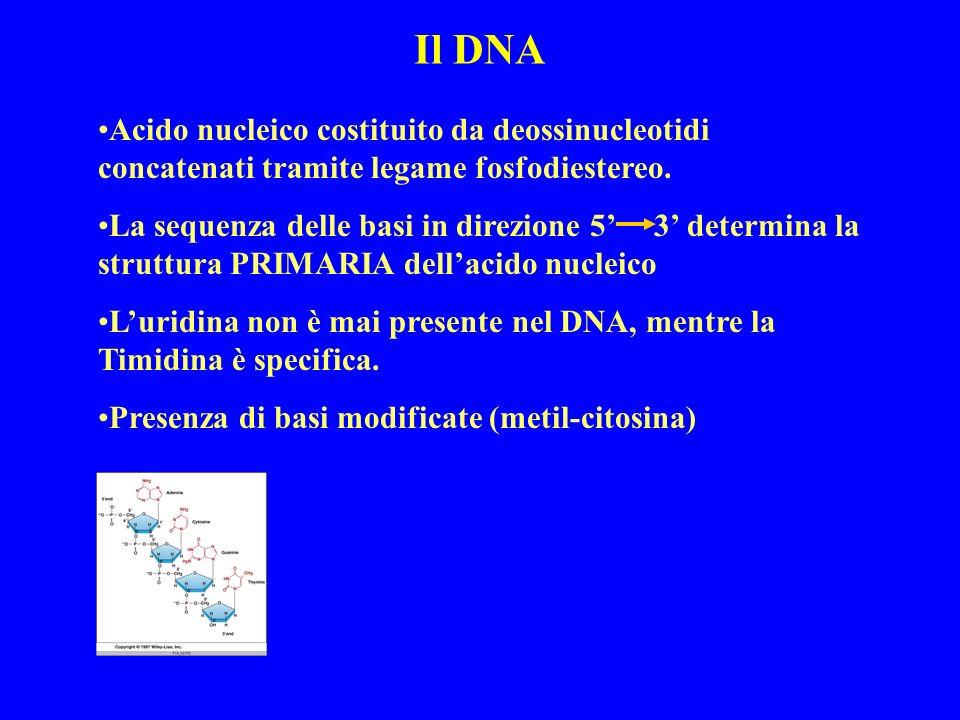 Il DNA Acido nucleico costituito da deossinucleotidi concatenati tramite legame fosfodiestereo.