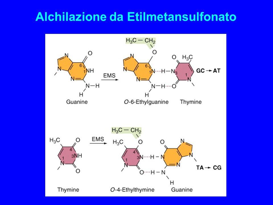 Alchilazione da Etilmetansulfonato