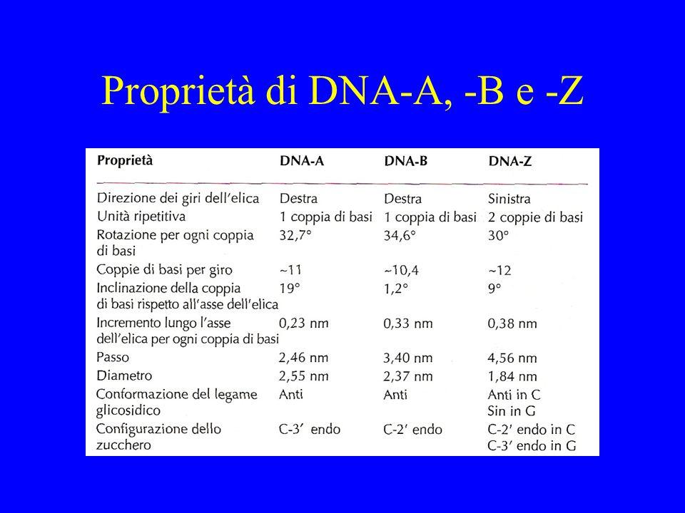 Proprietà di DNA-A, -B e -Z