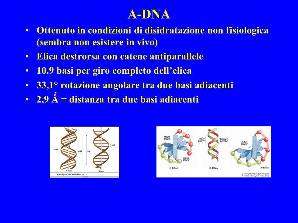 A-DNA Ottenuto in condizioni di disidratazione non fisiologica (sembra non esistere in vivo) Elica destrorsa con catene antiparallele.