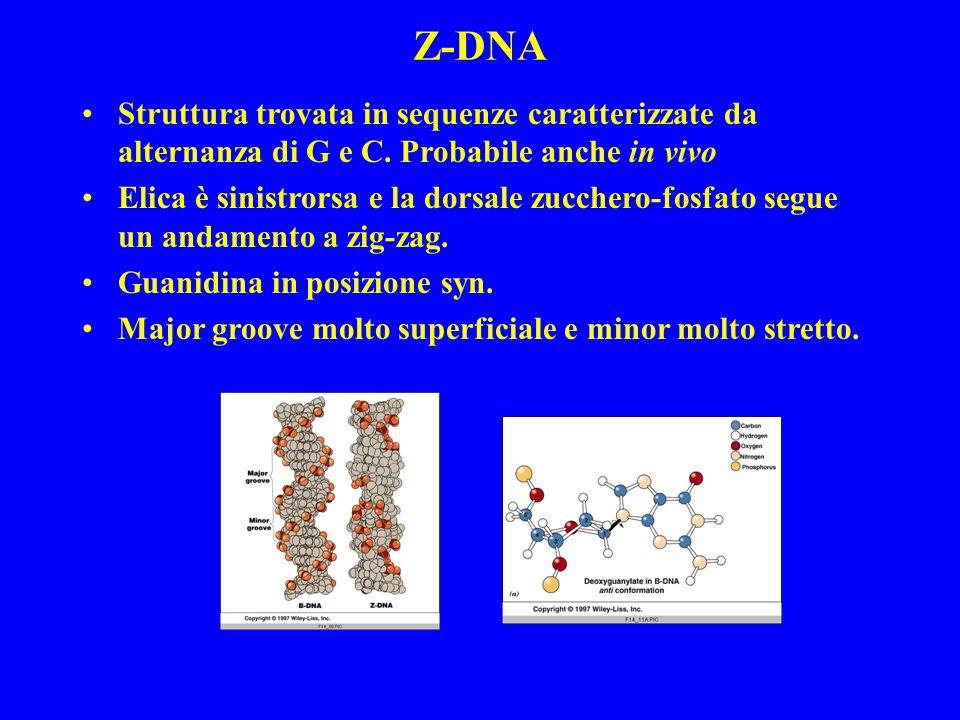 Z-DNA Struttura trovata in sequenze caratterizzate da alternanza di G e C. Probabile anche in vivo.